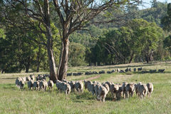 Flock of Sheep in Australia Stock Image