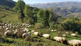 Flock of sheep in Autumn. Flock of sheep on the mountain in Autumn Royalty Free Stock Photos