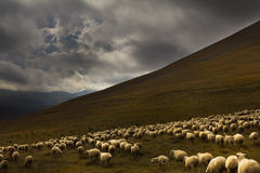 Flock sheep on a background of dramatic landscape Stock Photography
