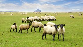 Mont Saint Michel. A flock of sheep on the background Mont Saint Michel abbey Royalty Free Stock Photo