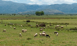 Flock of sheep on beautiful mountain meadow Royalty Free Stock Photo