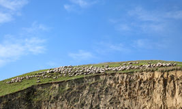 Flock of sheep at berg Stock Images