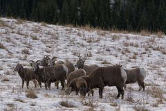 Flock of sheep. A flock of bighorn sheep on a pasture with snow Stock Photography