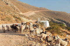 Flock of sheep blocking the road. Stock Image