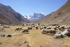 Flock of sheep in broad valley Stock Photography