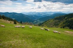 Flock of sheep in the carpathians. stock images