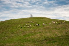 Flock of sheep in the carpathians. royalty free stock photos