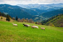 Flock of sheep in the carpathians. royalty free stock image