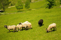 Flock of sheep in the carpathians. Hiking Travel Lifestyle concept beautiful mountains landscape on background. royalty free stock photos