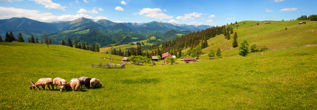 Flock of sheep in the carpathians. Hiking Travel Lifestyle concept beautiful mountains landscape on background. stock photography