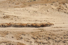 Flock of sheep coming along the road among dry grass. Stock Photo