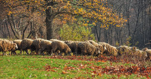 Flock of sheep. Coming down through the meadow with fallen leaves Stock Photos