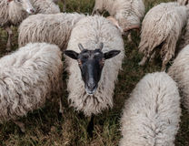 Flock of sheep. Concept - farm and animals Stock Photo