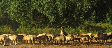 Flock of sheep  in corsica Stock Images