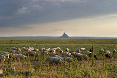 Flock of sheep in countryside. Field with Mont Saint-Michel in background, Normandy, France stock photography