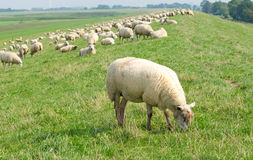 Flock of sheep in countryside Stock Photos
