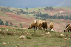 Flock of sheep in the countryside on the way to Moray, Cusco, Peru stock images