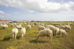 Flock of sheep in the countryside portugal Royalty Free Stock Images