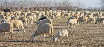 A flock of sheep in  the countryside. A wide flock of sheep with a lamb in close-up in the countryside of the italian region of Friuli Royalty Free Stock Photo