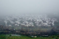 Flock of sheep covered in fog Royalty Free Stock Photography