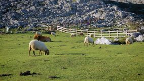 Flock of sheep and cow grazing stock footage