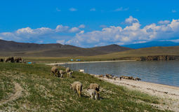 Flock of sheep  and cows  near the lake Stock Images