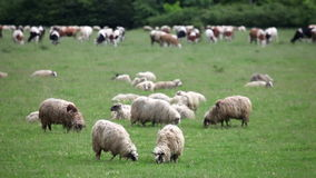 A flock of sheep and cows in the pasture stock video