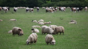 A flock of sheep and cows in the pasture stock video footage