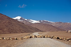 A flock of sheep is crossing More Plain on Leh-Manali highway, Ladakh, Jammu and Kashmir, India Royalty Free Stock Photo