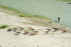 Flock of sheep crossing a river at Berat Royalty Free Stock Photography