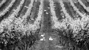 Flock of sheep sitting in vineyard farm royalty free stock image