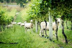 A flock of sheep at vineyard curiously stare into the camera stock images