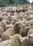Flock of sheep Royalty Free Stock Photo