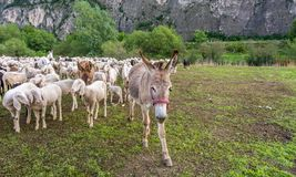 Flock of sheep and a donkey Royalty Free Stock Images
