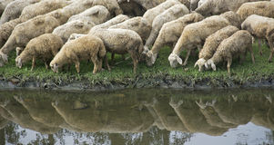 Flock of Sheep Drinking at Riverside Royalty Free Stock Photos