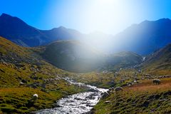 Flock of sheep, drinking water in streem, Gran Paradiso Nationl Park, Italy. Beautifull landscape with ble sky in Alp, Europe. Mo royalty free stock image