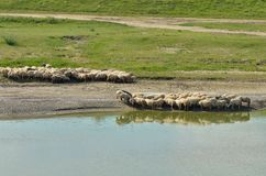 Flock of sheep drinking water Royalty Free Stock Photos