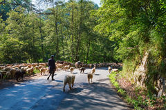 Flock of sheep driven away by road. A flock of sheep driven away by road, Carpathians, Romania Stock Photo