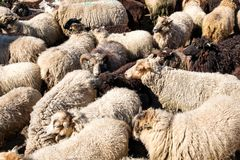 A flock of sheep driven together in a small space royalty free stock photo