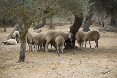 Flock of sheep on dry ground in crete, greece Royalty Free Stock Images