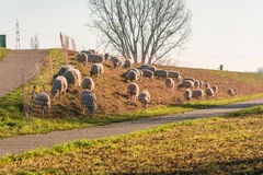 Flock of sheep on a dyke. Royalty Free Stock Images