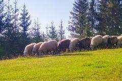 Flock of sheep eating grass in Carpathian Mountains. Flock of sheep eating green grass in Carpathian Mountains in morning. Spruce trees on the background Stock Photos
