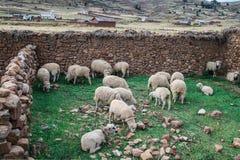 Flock of sheep eating Stock Photo