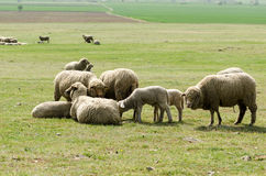 Flock of sheep eating grass on sunrise. Stock Photo