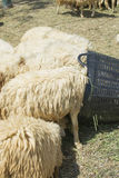 A flock of sheep are eating green grass leaves in the basket Stock Image