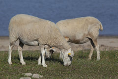 Flock of sheep, Ebro reservoir Stock Photography