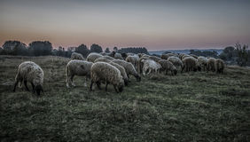A flock of sheep. In the evening Stock Photography