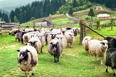 Flock of sheep on farm Stock Photography