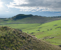Flock Of Sheep And Farmland Stock Photo