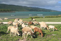 Flock of sheep feeding near the sea, Rodrigues Island. Image showing a flock of sheep moving freely about and feeding off the grass by the seaside, Rodrigues Stock Photography